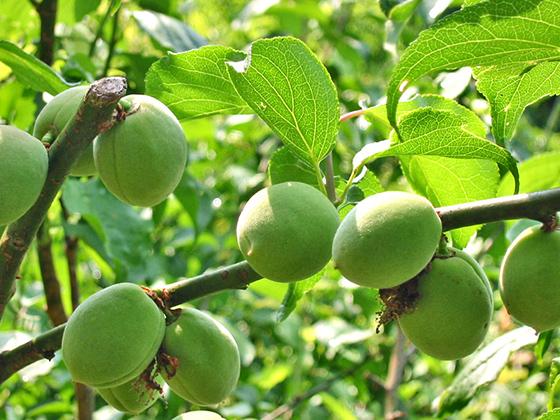 希少な在来種・林州梅と有機シソを使用